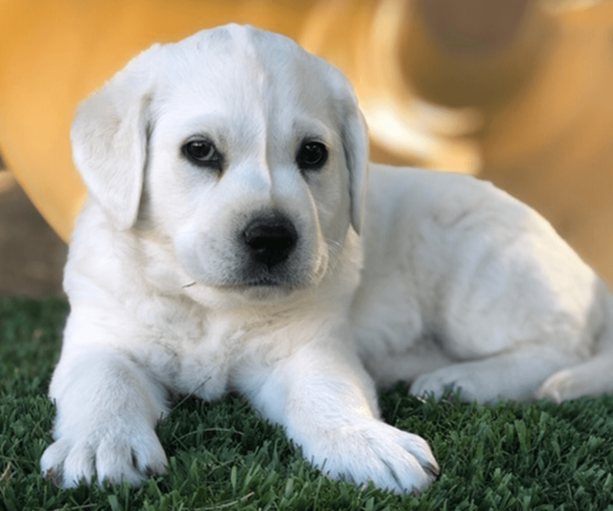 White Labrador Puppies For Sale My Lab Puppies